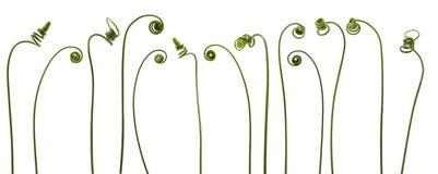 Planta espiral da trepadeira Imagens de Stock