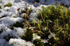A planta está brilhando através da neve Fotos de Stock Royalty Free
