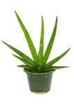 A planta está no potenciômetro Fotografia de Stock Royalty Free
