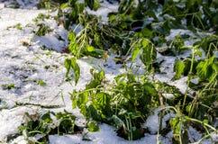 A planta está sob a neve branca foto de stock royalty free