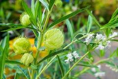 Planta estranha Tailândia Fotos de Stock Royalty Free