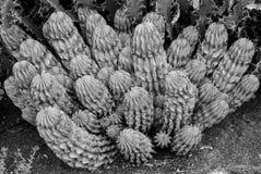 Planta exótica del cactus de la columna Imagenes de archivo