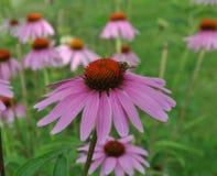 Planta/flor curativas del Echinacea en el jardín con una abeja Atmósfera de relajación Imagen de archivo