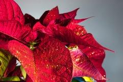 Planta, flor, poinsétia, vermelho, eufórbio, símbolo tradicional do Natal da flor do pulcherrimaPoinsettia para a paz de espírito Fotografia de Stock