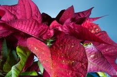 Planta, flor, poinsétia, vermelho, eufórbio, símbolo tradicional do Natal da flor do pulcherrimaPoinsettia para a paz de espírito Fotos de Stock Royalty Free
