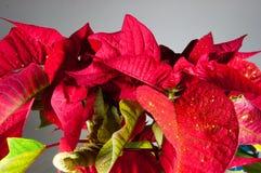 Planta, flor, poinsétia, vermelho, eufórbio, símbolo tradicional do Natal da flor do pulcherrimaPoinsettia para a paz de espírito Imagem de Stock