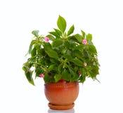 Planta floreciente Imágenes de archivo libres de regalías