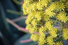 Planta floreciente amarilla hermosa de la flor del simsii del Aeonium Foto de archivo libre de regalías