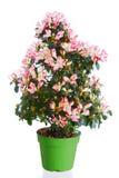 Planta floreciente de la azalea Fotografía de archivo libre de regalías