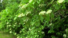 Planta floreciente de la baya del saúco metrajes