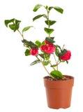 Planta floreciente de la camelia Fotos de archivo