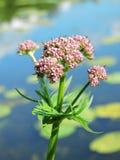 Planta floreciente de la valeriana, Lituania Imagenes de archivo