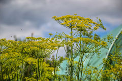 Planta floreciente de las hierbas del eneldo en el jardín (graveolens del Anethum) Ciérrese para arriba de las flores de hinojo Foto de archivo libre de regalías