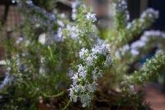 Planta floreciente de Rosemary Foto de archivo libre de regalías