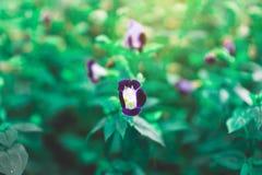 Planta floreciente del annaul de Bluewing, conocida como la flor de Wishbone o floración de Torenia, violeta y púrpura de los pét foto de archivo