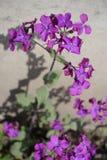 Planta floreciente del annua del Lunaria en fondo neutral Fotografía de archivo libre de regalías