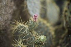 Planta floreciente del cactus de los basilaris de la Opuntia en el desierto Imagen de archivo libre de regalías