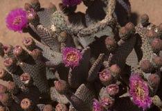 Planta floreciente del cactus de los basilaris de la Opuntia en el desierto Fotos de archivo libres de regalías