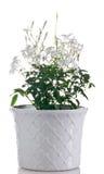 Planta floreciente del jazmín en pote Imágenes de archivo libres de regalías
