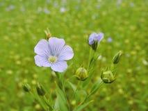 Planta floreciente del lino Fotografía de archivo libre de regalías