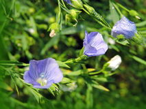 Planta floreciente del lino Fotos de archivo libres de regalías