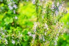 Planta floreciente del romero foto de archivo libre de regalías