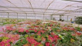 Planta floreciente roja en envase de plástico Muchos ramos de flores alistan en venta metrajes