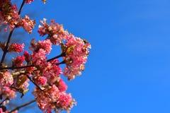 Planta floreciente rosada en un fondo del cielo azul Foto de archivo