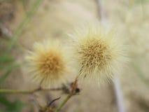 Planta - fluff marrom na duna, Lituânia fotografia de stock royalty free