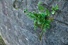 Planta forte que cresce em uma parede de pedra Imagem de Stock