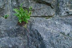 Planta forte que cresce em uma parede de pedra Imagens de Stock Royalty Free