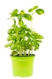Planta fresca aislada del basi Imagen de archivo