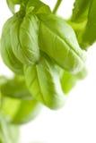 A planta fresca da manjericão sae do sumário Imagens de Stock Royalty Free