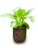 Planta fresca de Bok Choy que cresce no recipiente recicl Fotos de Stock Royalty Free
