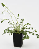 Planta fresca de Burnet de la ensalada Foto de archivo