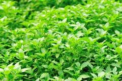 Planta fresca de la albahaca Foto de archivo libre de regalías