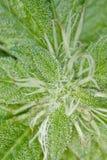 Planta fresca de la marijuana Imágenes de archivo libres de regalías