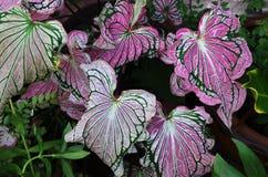Planta frondosa decorativa da beleza tailandesa do Caladium Fotografia de Stock