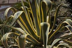 Planta gordurosa Imagens de Stock Royalty Free