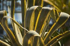 Planta gordurosa Imagem de Stock Royalty Free