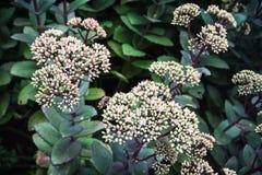 Planta híbrida do matrona de Sedum Fotos de Stock