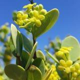 Planta hawaiana nativa Fotos de archivo