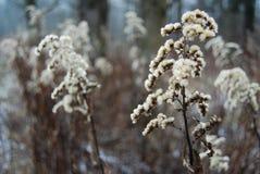 Planta herbácea Foto de Stock Royalty Free