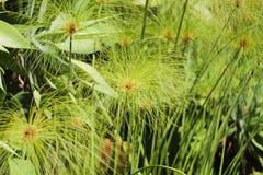 Planta herbácea - papiro del Cyperus Fotografía de archivo