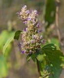 Planta herbaria Foto de archivo libre de regalías
