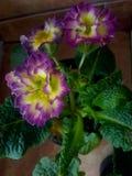 Planta hermosa con las flores púrpuras y amarillas Fotos de archivo libres de regalías
