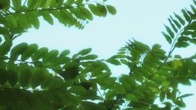 Planta hermosa de las hojas en concepto de la flora de la naturaleza del árbol almacen de video