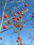Planta hermosa de los officinalis del espárrago fotografía de archivo