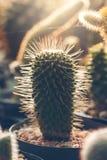 Planta hermosa del cactus en los sunries Foto de archivo
