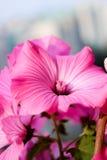 Planta hermosa, rosas de las flores, los brotes de flor, flor roja Fotografía de archivo